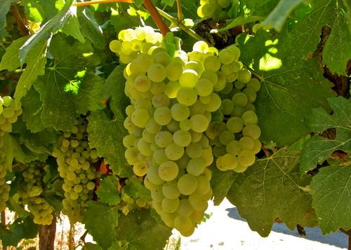 шардоне сорт винограда
