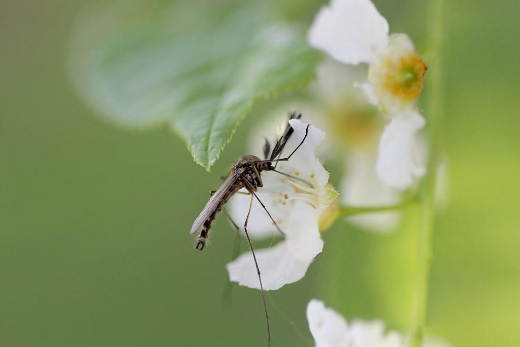 День Лукерьи Комарницы 26 мая: почему в этот день нельзя убивать комаров